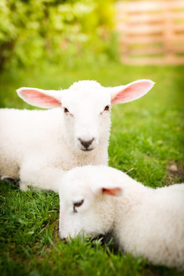 Due agnelli sull'erba fotografia stock libera da diritti