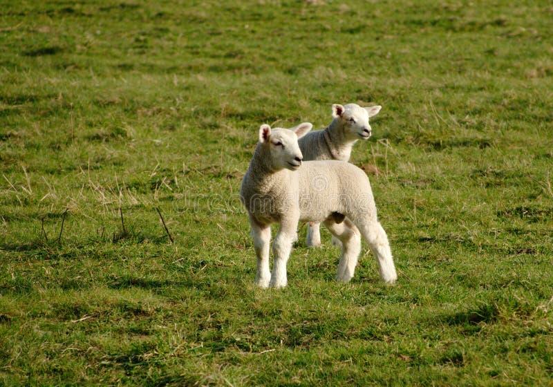 Due agnelli in un campo fotografie stock