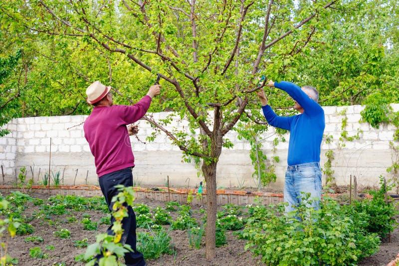 Due agricoltori adulti con i vetri ed alberi di potatura del cappello in giardino all'aperto fotografia stock