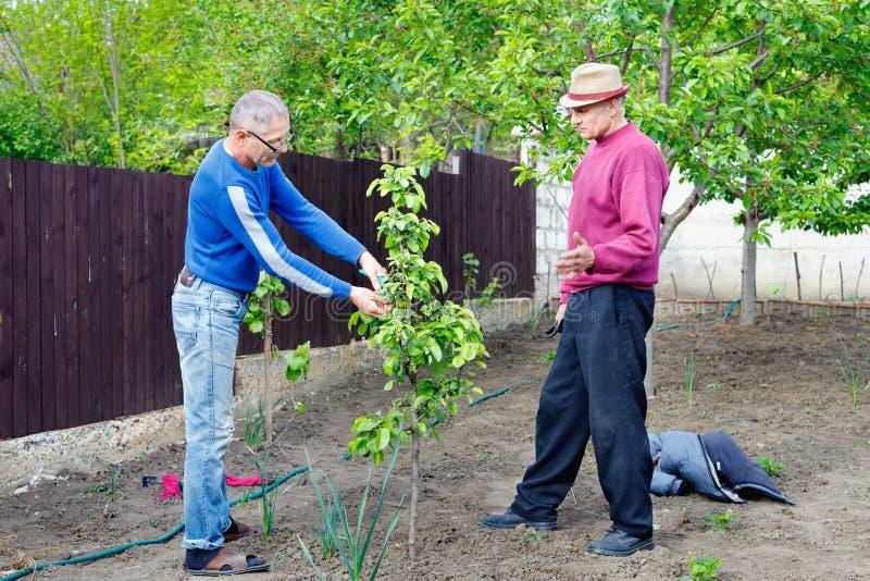 Due agricoltori discutono prendere la cura di giovane pero in giardino all'aperto immagini stock