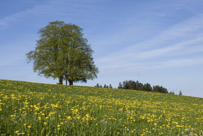 Due alberi con le foglie verdi stanno in un prato vicino a Lucerna con i denti di leone fotografia stock