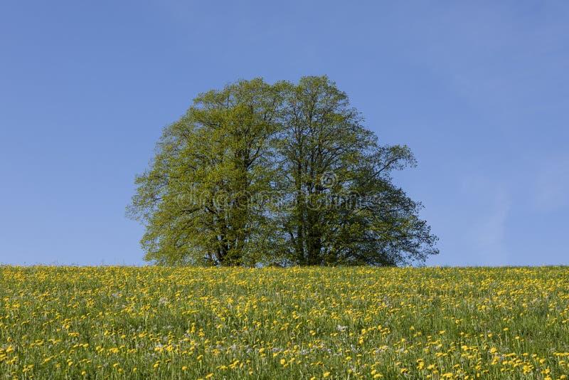 Due alberi con le foglie verdi stanno in un prato vicino a Lucerna con i denti di leone fotografie stock