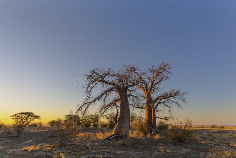Due alberi del baobab fotografie stock libere da diritti