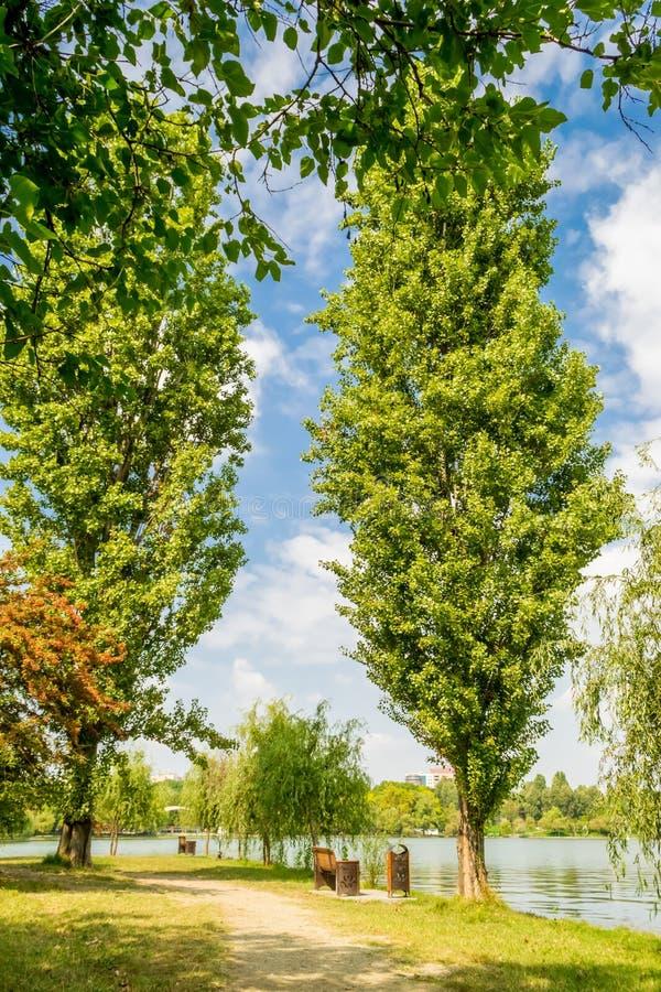 Due alberi di pioppi fotografia stock