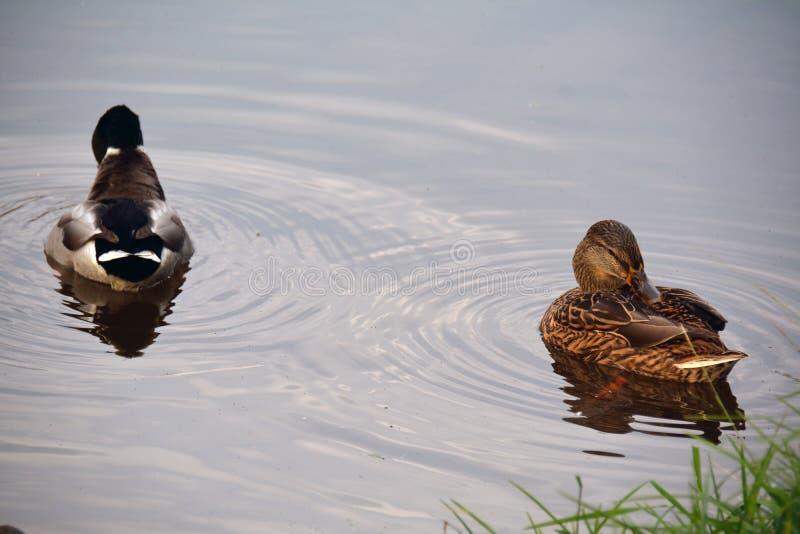 Due anatre che nuotano sull'acqua immagine stock libera da diritti