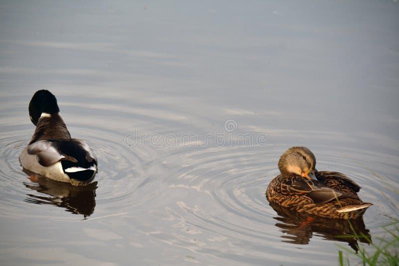 Due anatre che si siedono sull'acqua immagini stock libere da diritti