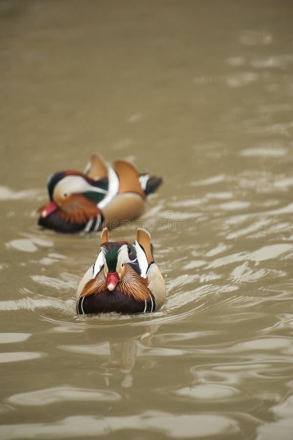 Due anatre di mandarino - i maschi nuotano in acqua immagini stock libere da diritti