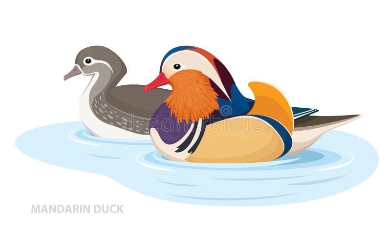 Due anatre di mandarino nuotare nell'acqua Uccelli asiatici Maschio e femmina Vettore illustrazione vettoriale
