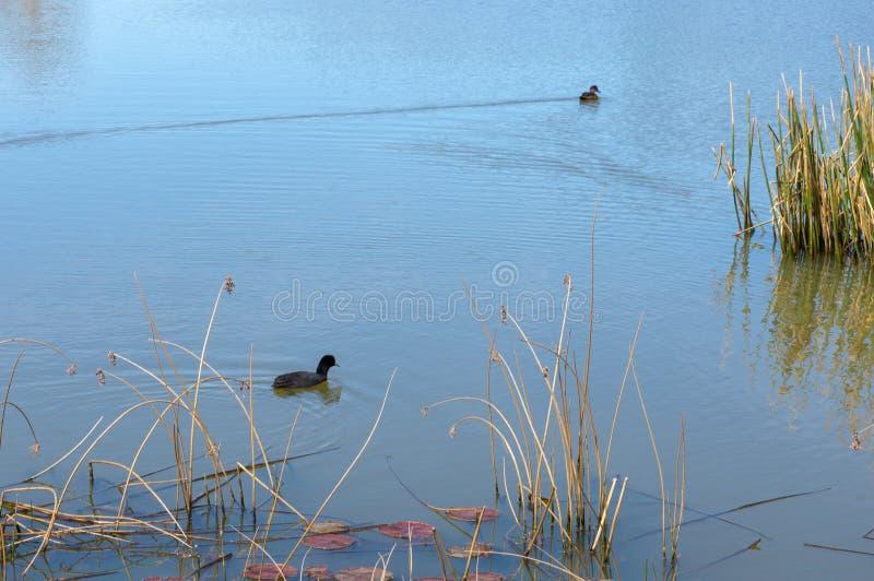 Due anatre galleggiano in acqua pacifica fotografia stock
