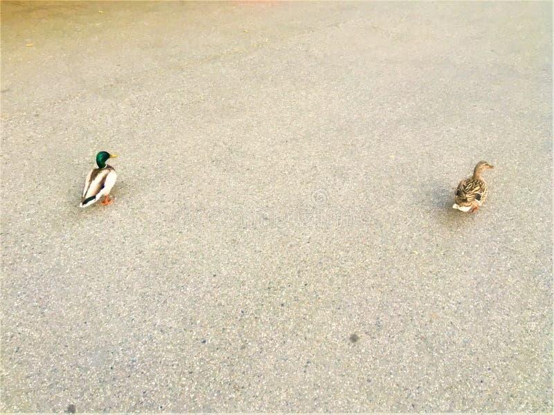 Due anatre hanno perso nella via Animale, spazio ed asfalto fotografia stock libera da diritti