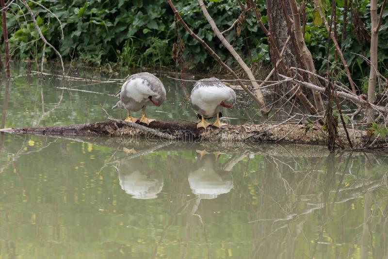 Due anatre mute in un lago fotografie stock
