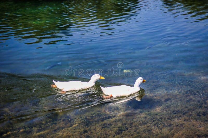 Due anatre nel lago immagini stock libere da diritti
