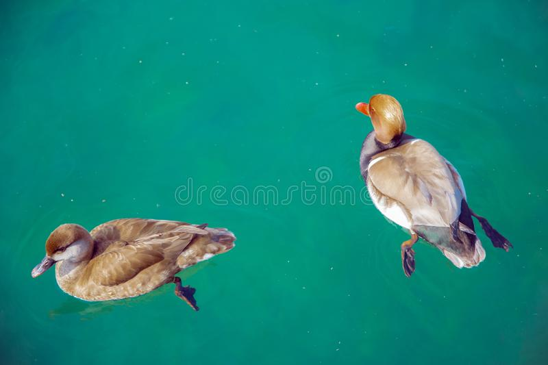Due anatre nuotano nell'acqua blu sul lago Garda immagini stock libere da diritti