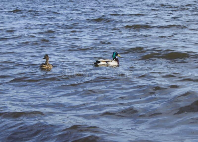 Due anatre nuotano sullo stagno immagine stock