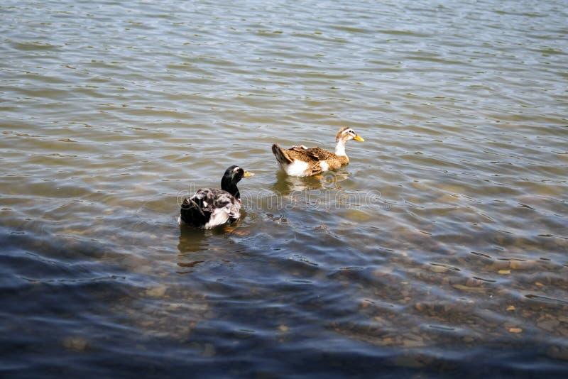 Due anatre selvatiche che nuotano in uno stagno immagini stock