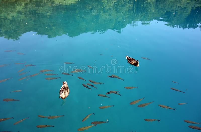 Due anatre su acqua fotografie stock libere da diritti