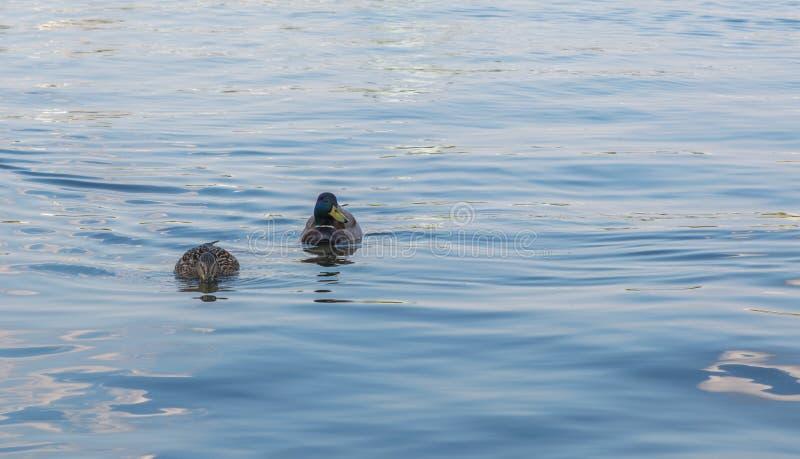 Due anatre su un lago fotografia stock libera da diritti