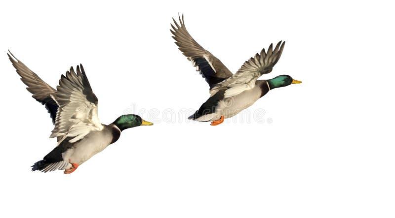 Due anatre volanti isolate su fondo bianco immagini stock