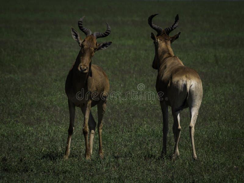 Due antilopi sul cratere di Ngorongoro La Tanzania, Afica fotografie stock libere da diritti