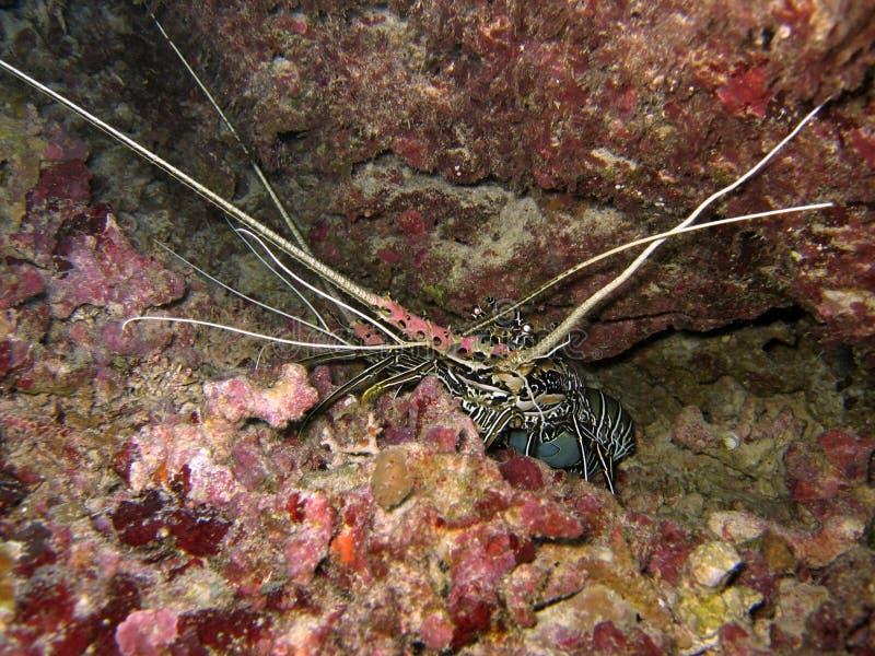 Download Due aragoste immagine stock. Immagine di marino, acqua - 214917