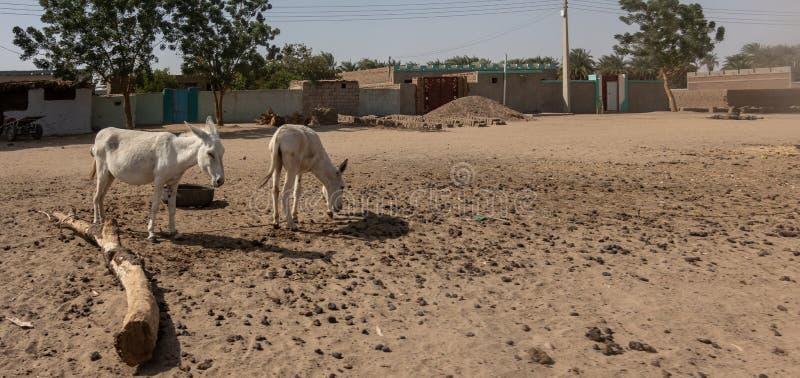 Due asini bianchi cercano il quadrato del villaggio in un villaggio africano l'alimento rado immagini stock libere da diritti