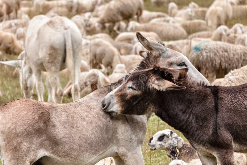 Due asini che hanno abbraccio su un prato fotografie stock