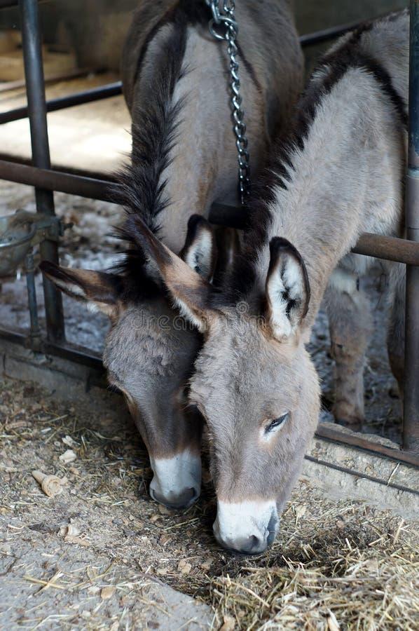 Due asini che mangiano fieno fotografie stock libere da diritti