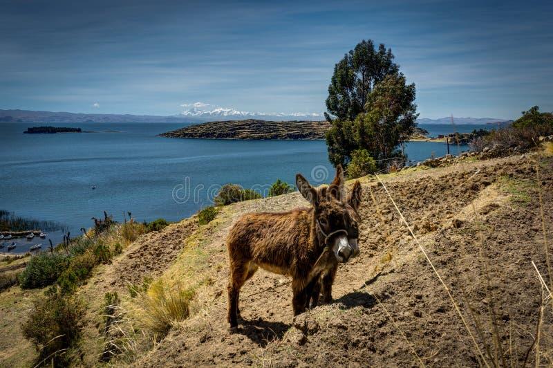Due asini con la vista attraverso il del Sol Lake TIticaca di isla della La fotografia stock libera da diritti