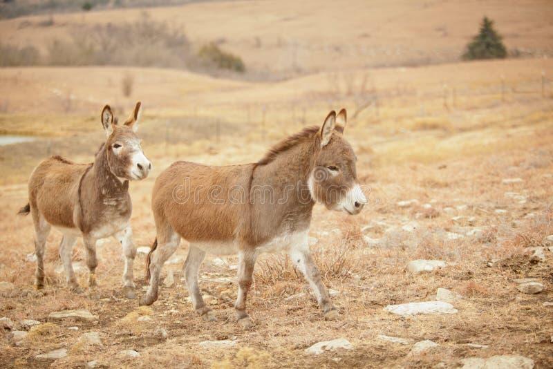 Due asini in fuga fotografie stock libere da diritti