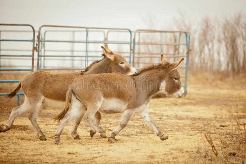 Due asini in fuga fotografia stock
