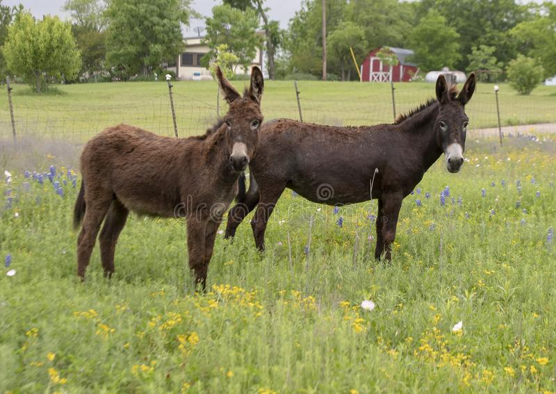 Due asini marroni in Ennis, il Texas immagine stock