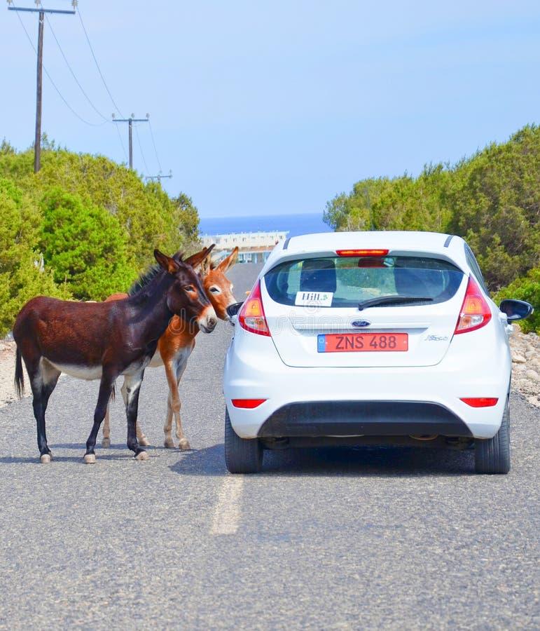Due asini selvaggi che bloccano il modo di un'automobile bianca su una strada della campagna immagini stock libere da diritti