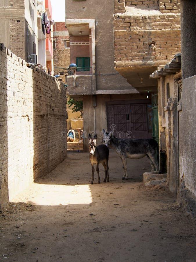 Due asini sulla via egiziana immagine stock