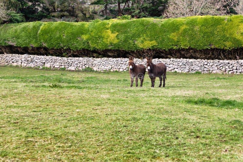 Due asini in un campo dell'azienda agricola fotografie stock