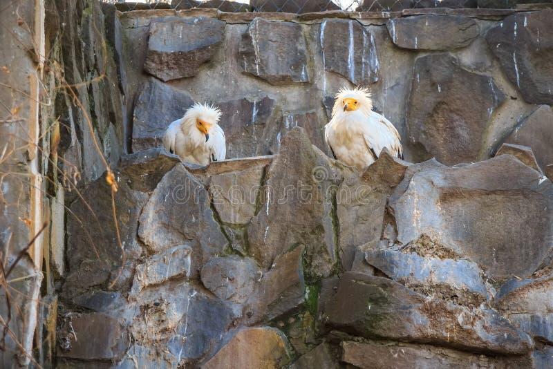 Due avvoltoi egiziani o percnopterus del Neophron fotografia stock