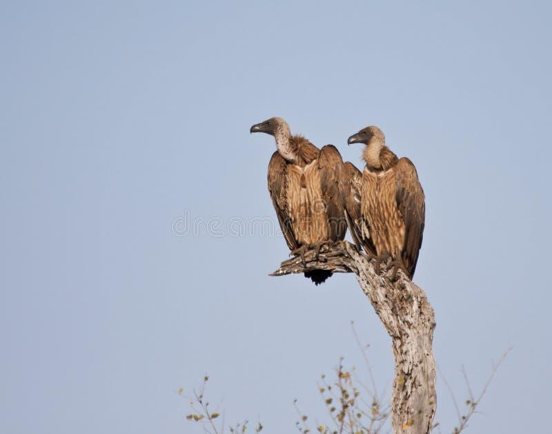 Due avvoltoi in una seduta dell'albero fotografia stock