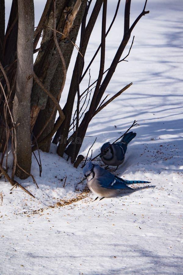 Due azzurro Jays immagini stock