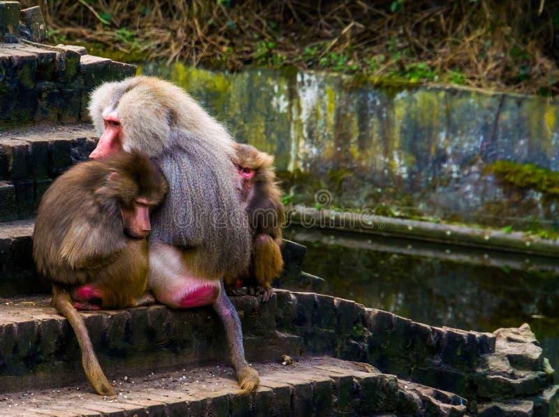 Due babbuini femminili che si siedono vicino ad un babbuino maschio di hamadryas, scimmie tropicali di hamadryas dall'Africa immagini stock libere da diritti