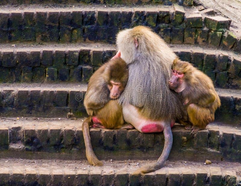 Due babbuini femminili che stringono a s? con un babbuino maschio di hamadryas, scimmie tropicali di hamadryas dall'Africa immagine stock libera da diritti