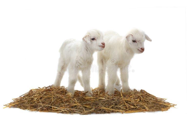 Due bambini della capra immagini stock