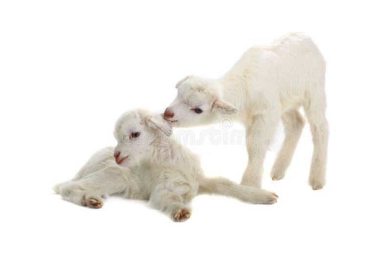 Due bambini della capra fotografia stock