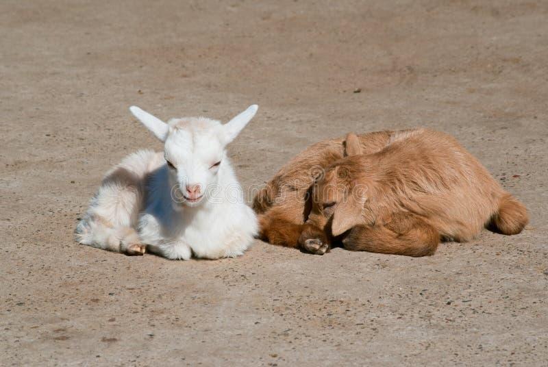 Due bambini della capra fotografia stock libera da diritti