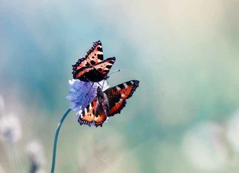 Due bei alveari del lepidottero sul prato dell'estate volano e si siedono sul lillà f fotografia stock libera da diritti