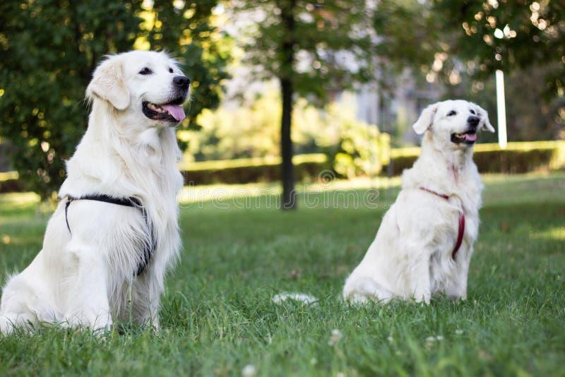 Due bei cani da richiamo dorati sorridenti fotografie stock libere da diritti
