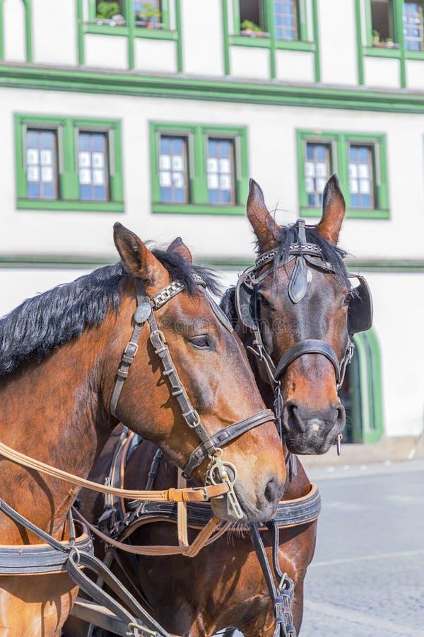 Due bei cavalli sui precedenti della casa Weimar, Germania fotografia stock
