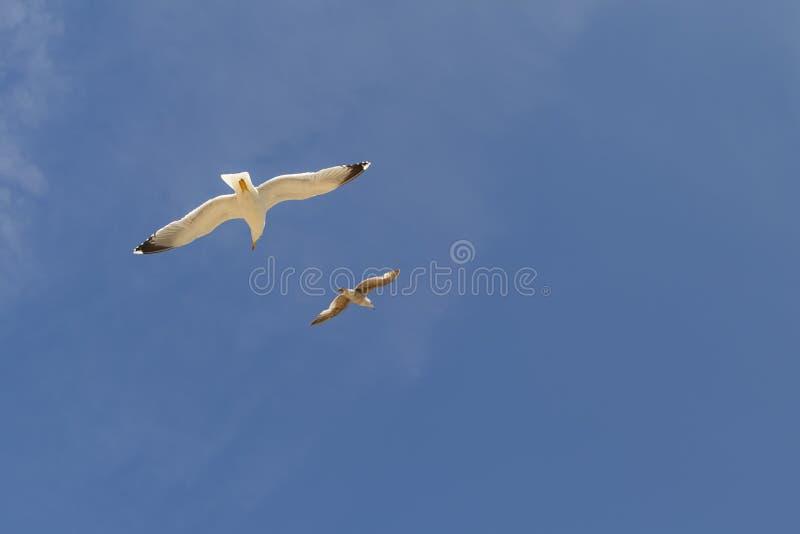 Due bei gabbiani stanno volando contro il cielo blu con i cirri immagine stock