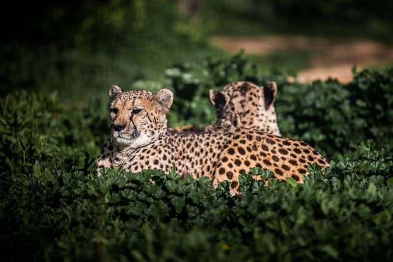 Due bei ghepardi selvaggi che riposano sui campi verdi, fine su immagine stock libera da diritti