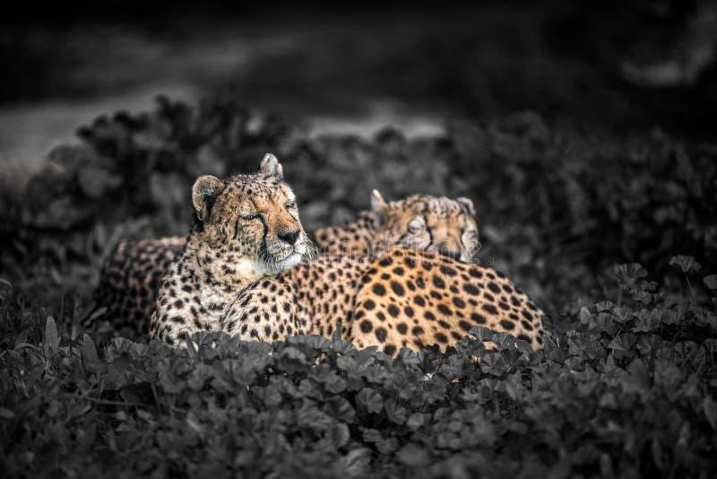 Due bei ghepardi selvaggi che riposano sui campi verdi, fine su fotografia stock libera da diritti