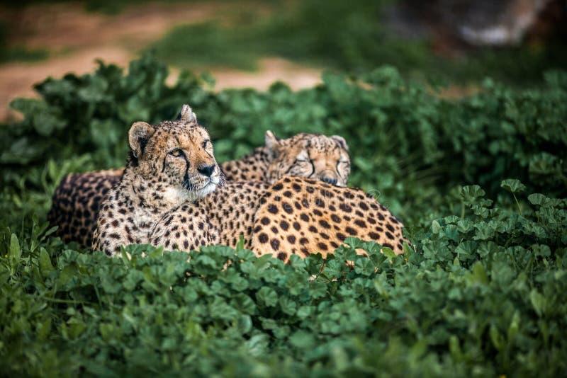 Due bei ghepardi selvaggi che riposano sui campi verdi, fine su fotografie stock