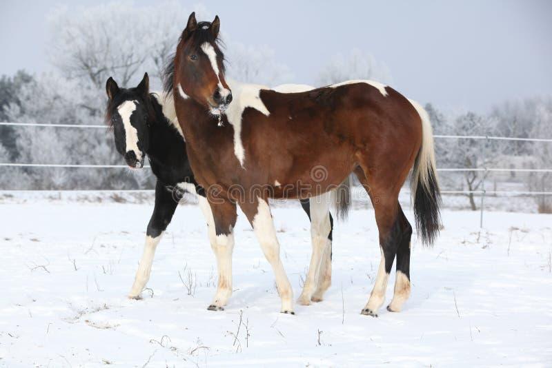 Due belle giumente del cavallo della pittura insieme nell'inverno immagini stock